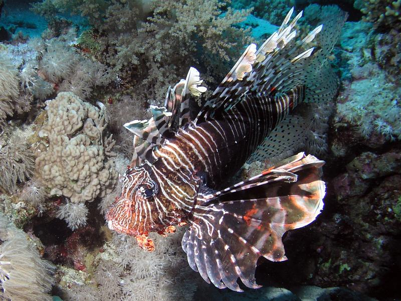 skrzydlice (Pterois volitans)