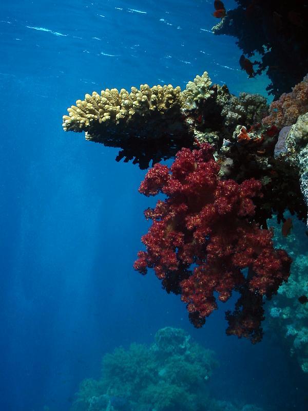 nurkowanie Egipt, fauna flora, rafa