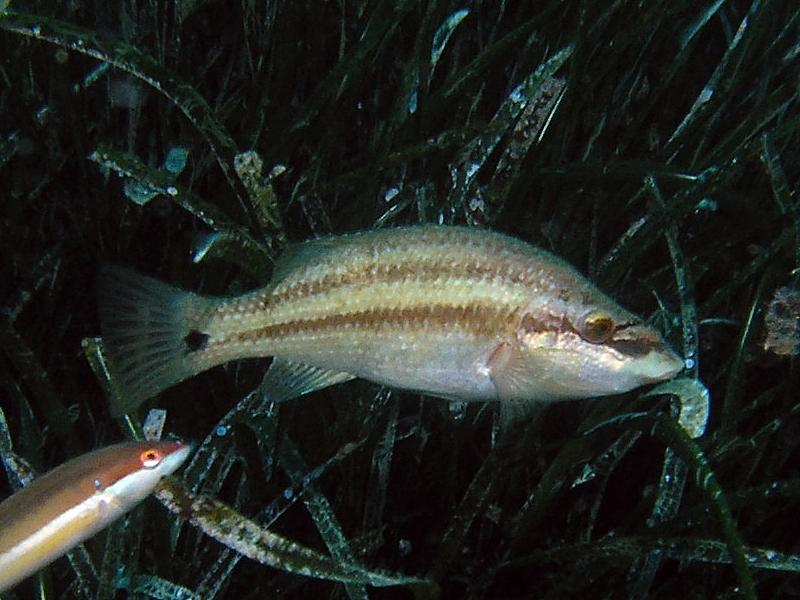 Ryby Wargacz tynka (Symphodus tinca)