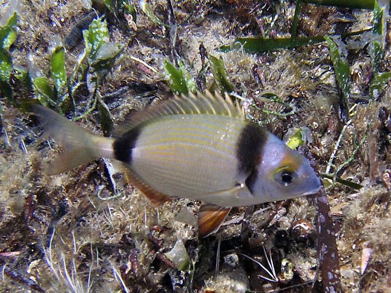Ryby Amarel (Diplodus vulgaris)