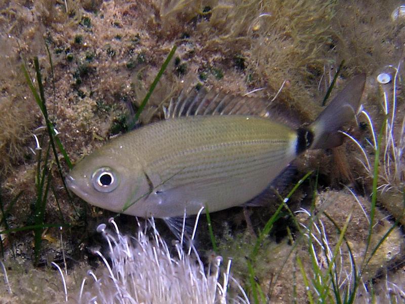 Ryby Oblada (Oblada melanura)