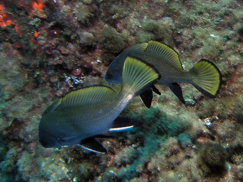 Ryby Korb (Sciaena umbra)