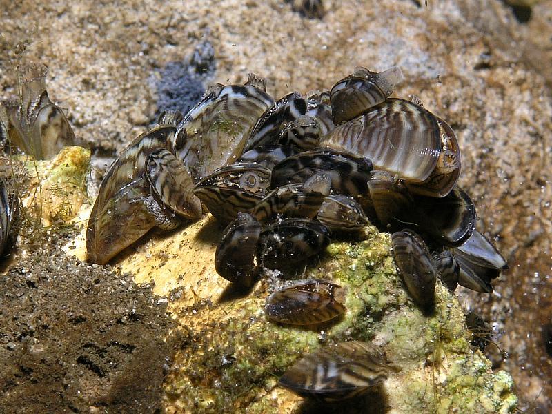 Racicznica zmienna (Dreissena polymorpha)