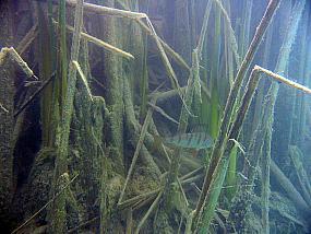 Pałka wąskolistna (Typha angustifolia)