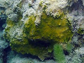 Sinice (Cyanophyta