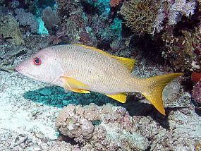 ryby lucjanowate