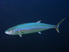 ryby makrelowate