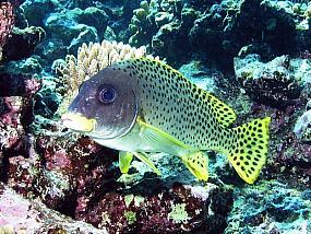 ryby luszczowate