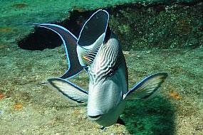 ryby pokolcowate