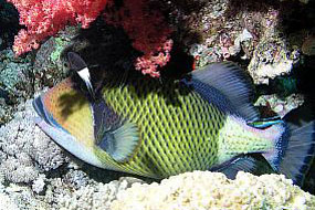ryby rogatnicowate