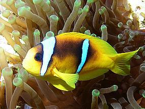 ryby garbikowate
