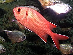 ryby hajdukowate
