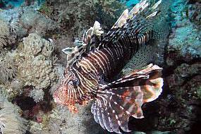 ryby skrzydlice