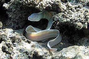 Murena szara (Gymnothorax nubilus))