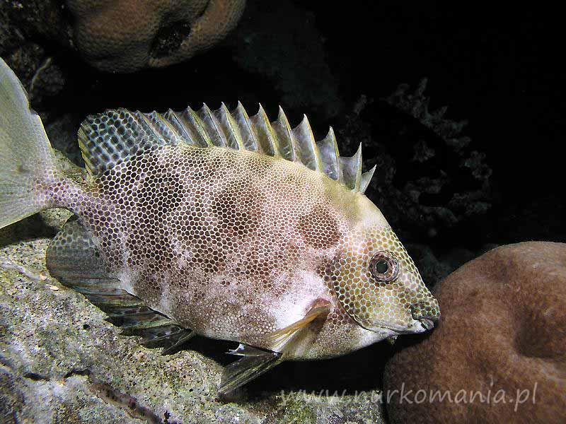 Ryby syganowate (Siganidae)