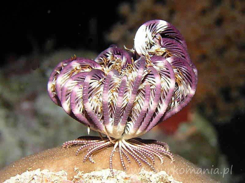 Liliowce (Crinoidea)