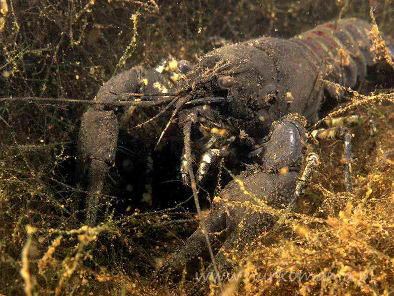 Rak pręgowaty (amerykański) (Orconectes limosus)