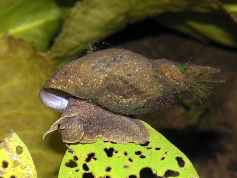 Błotniarka stawowa (Lymnaea stagnalis)