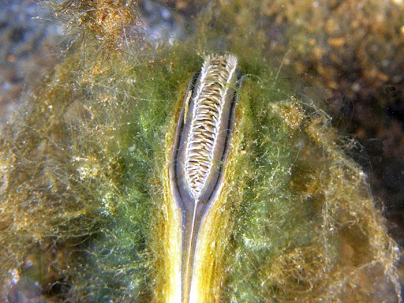 Szczeżuja pospolita (Anodonta anatina)